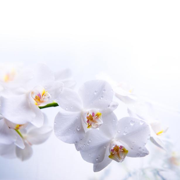 Белая орхидея Фотообои цветов на стену (flowers-0000047)