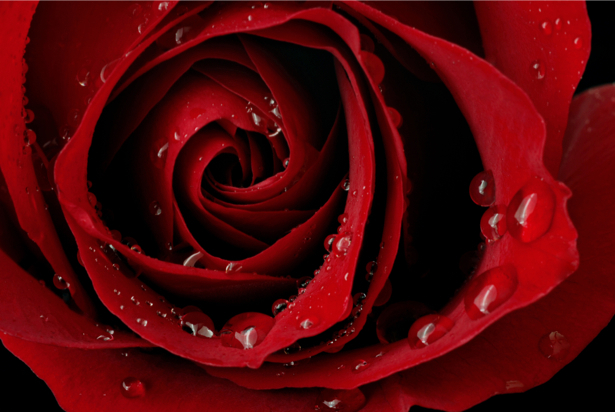 Фото обои цветок Алая, красная роза (flowers-0000071)