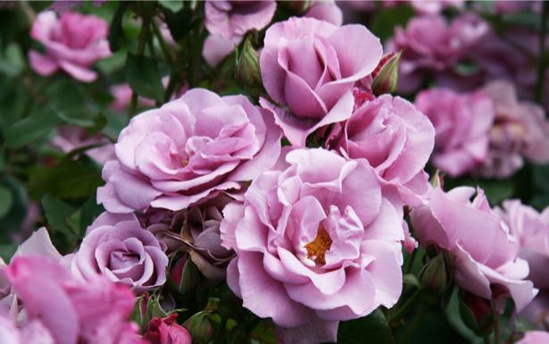 Розовые розы фотообои (flowers-0000169)
