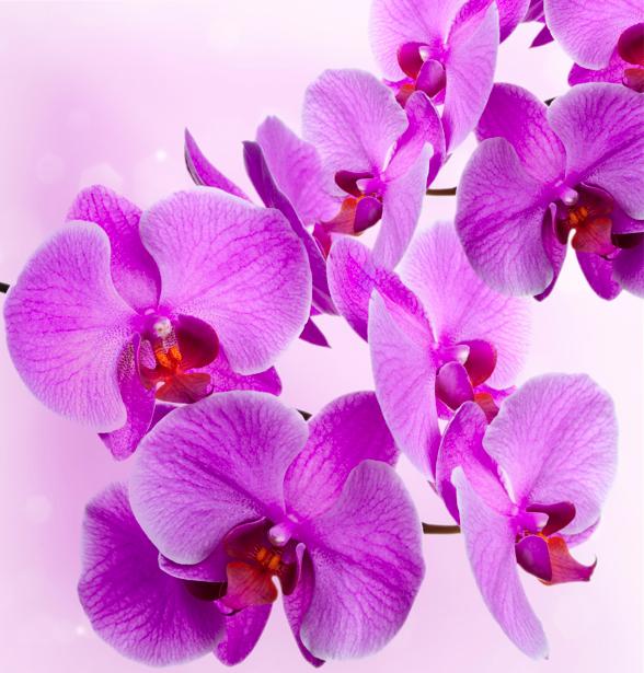 Ветка розовой орхидеи фотообои цветов (flowers-0000279)
