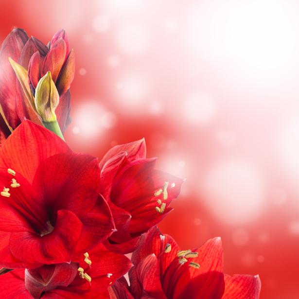 Фото обои на стену Красные цветы (flowers-0000397)