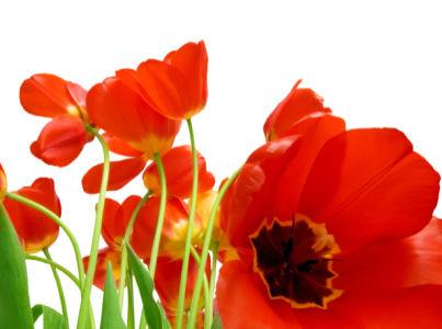 Фото обои для стен красные тюльпаны (flowers-0000597)