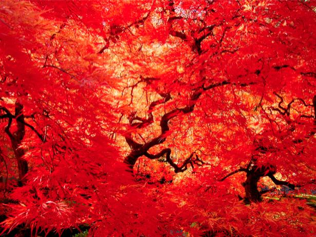Фотообои яркие красное дерево (nature-00251)