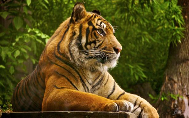 Фотообои тигр охрана (animals-0000008)