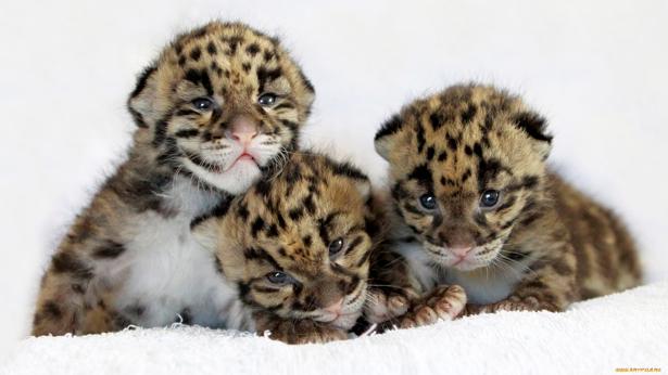 Фотообои малыши леопарда, детеныш (animals-0000075)