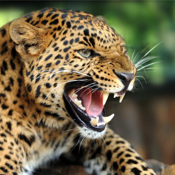 Фотообои злой леопард (animals-0000308)