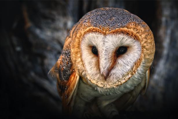Фотообои филин фото портрет (animals-0000365)