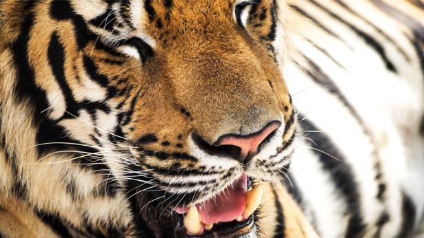 Фотообои тигр фото (animals-0000376)