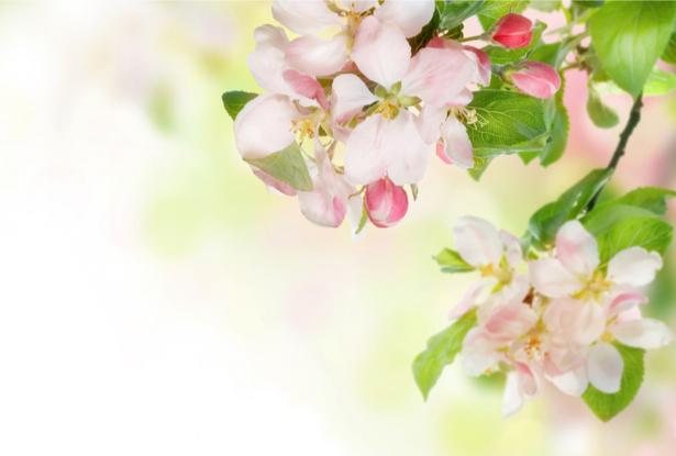 Фото обои цветы Цветущая ветка (flowers-0000021)