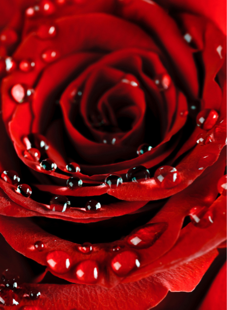 Фотообои цветы на стену фото Алая, красная роза (flowers-0000074)