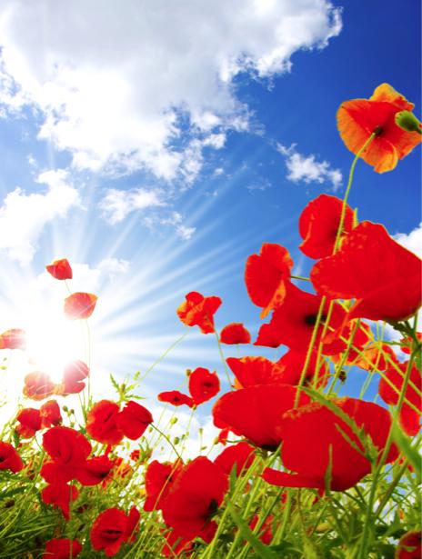 Обои фото цветы Полевые маки (flowers-0000148)