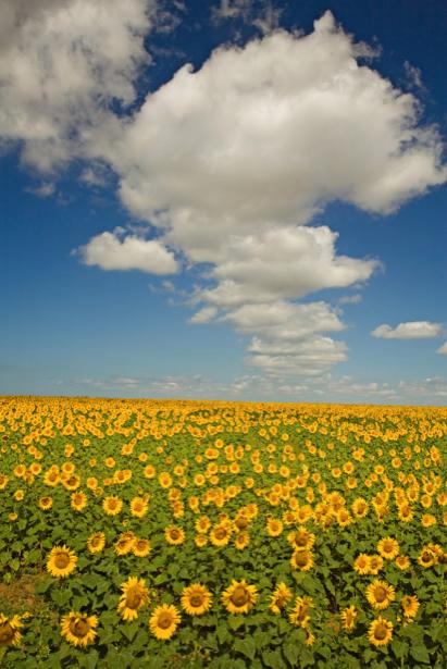 Фотообои на стену -  Поле подсолнухов (flowers-0000181)