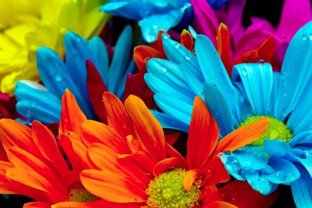 Цветные герберы - Фотообои на стену (flowers-0000218)