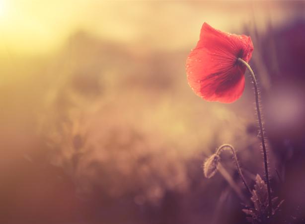 Фотообои Мак в поле (flowers-0000720)