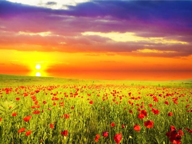 Фотообои поле маков на закате (nature-00577)