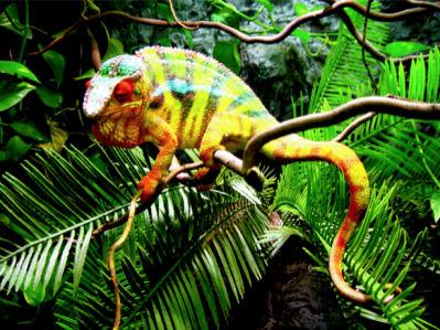 Фотообои хамелеон в ветках (animals-0000003)