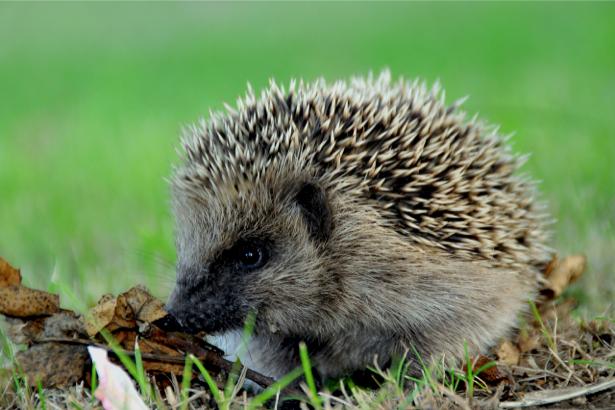Фотообои ежик в траве (animals-0000039)