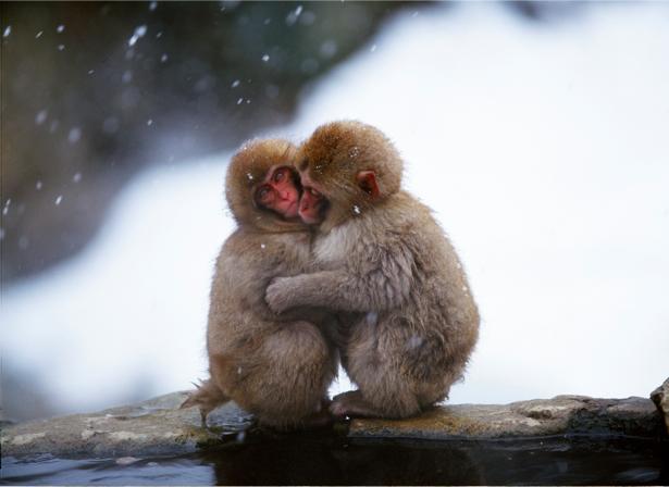 Фотообои обезьяны зимой (animals-0000065)