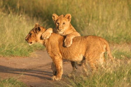 Фотообои львята в природе (animals-0000162)