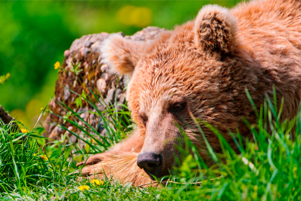 Фотообои медведь, мишка (animals-0000234)