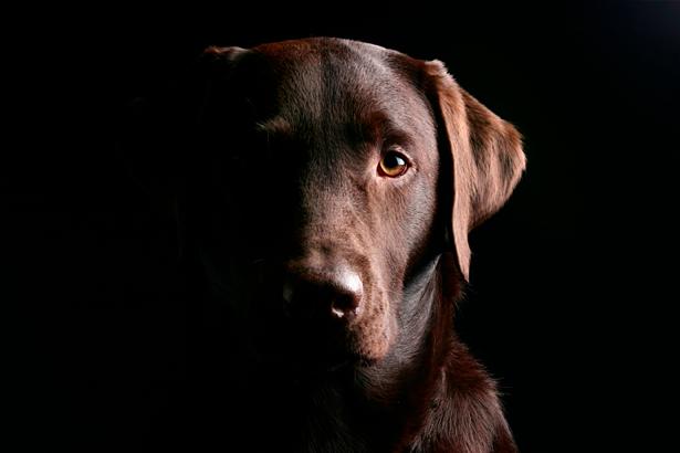 Фотообои красавец Лабрадор (animals-0000238)