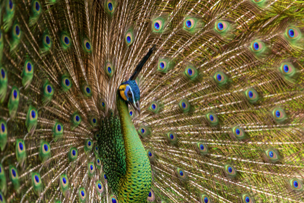 Фотообои Павлин (animals-0000407)