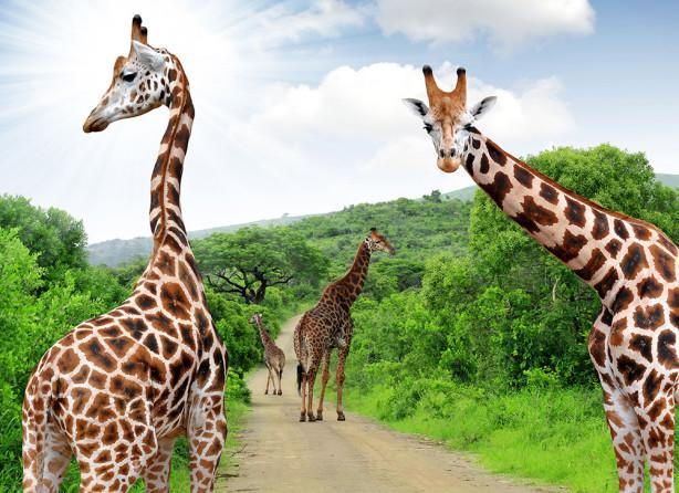 Фотообои Жирафы гуляют (animals-523)