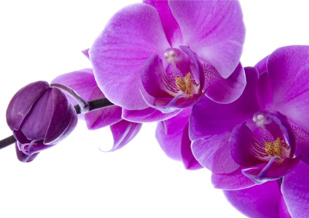 Фото обои цветы Цветущая орхидея (flowers-0000026)