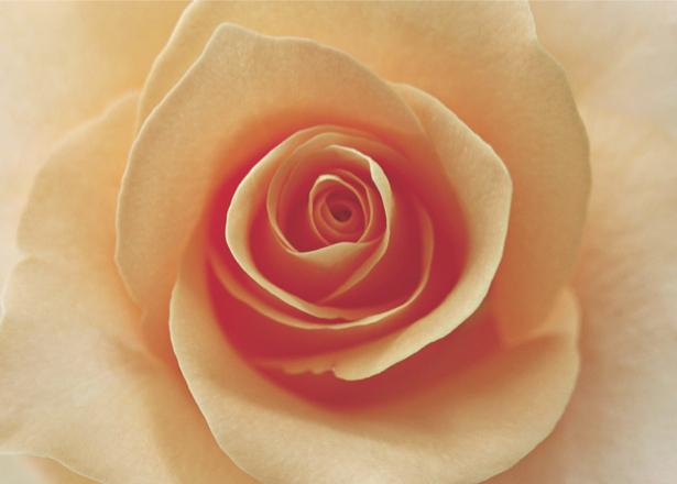 Кремовая роза фотообои на стену цветы (flowers-0000093)
