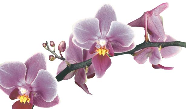 Красивые цветы фотообои орхидеи (flowers-0000234)