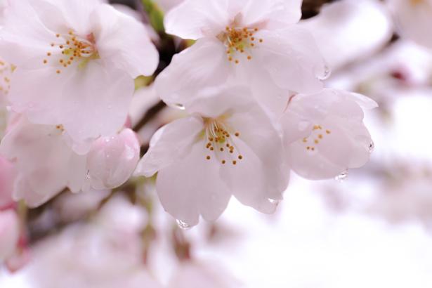 Фото обои для стен Цветущая ветка (flowers-0000515)