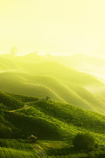 Фотообои чайное поле утром (nature-0000635)