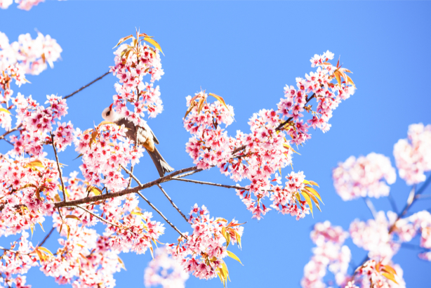 Фотообои ветви сакуры (nature-0000815)