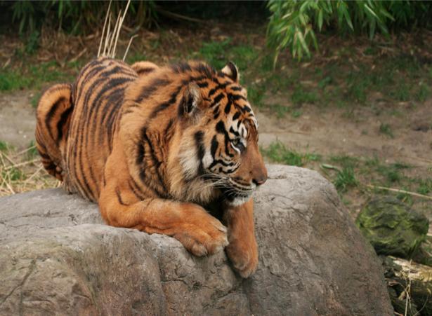 Фотообои на камне тигр (animals-0000046)