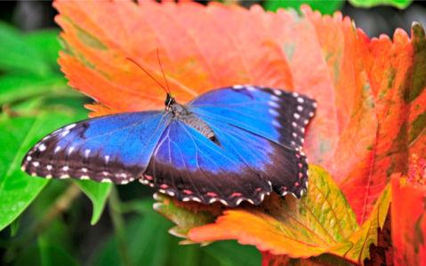 Фотообои с природой бабочка синяя (animals-0000067)