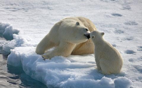 Фотообои белый медведь папа (animals-0000260)
