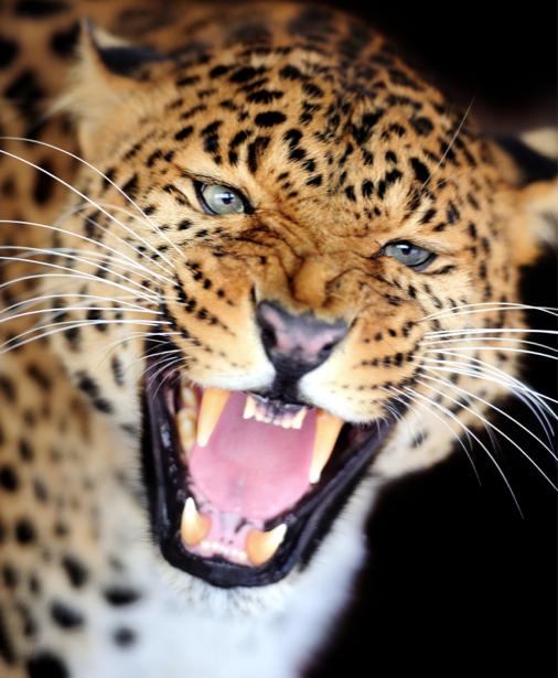 Фотообои леопард улыбка (animals-0000311)
