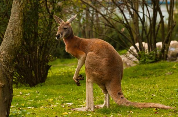 Фотообои Кенгуру в профиль (animals-0000428)