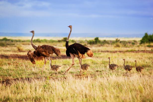 Фотообои Страусы в поле (animals-0000429)