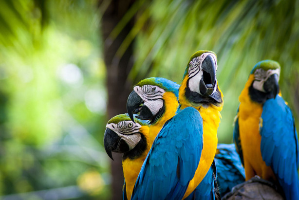 Фотообои Желто-голубые попугаи (animals-532)