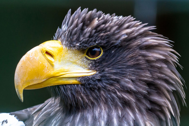 Фотообои Белоплечий Орлан (animals-571)