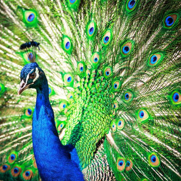Фотообои Величественный павлин (animals-573)