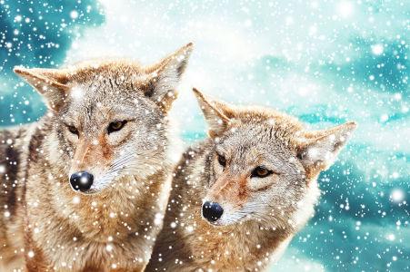 Фотообои Волки в снегу (animals-577)
