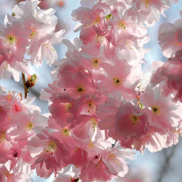 Цветущая ветка фотообои цветов на стену (flowers-0000007)