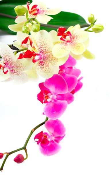 Фото обои Ветка розовой орхидеи и желтой (flowers-0000292)