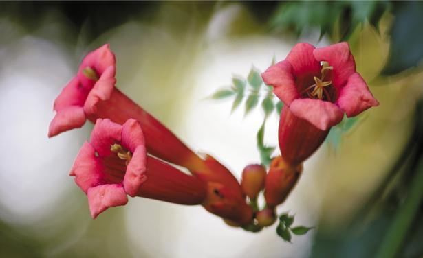 Фото обои красные бутончики (flowers-0000345)