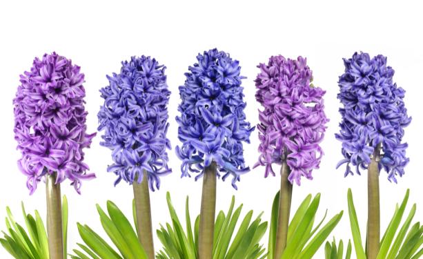 Фото обои обои на стену гиацинты (flowers-0000646)