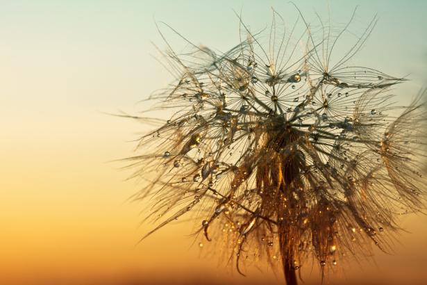 Фотообои макро одуванчик спальни (flowers-0000721)