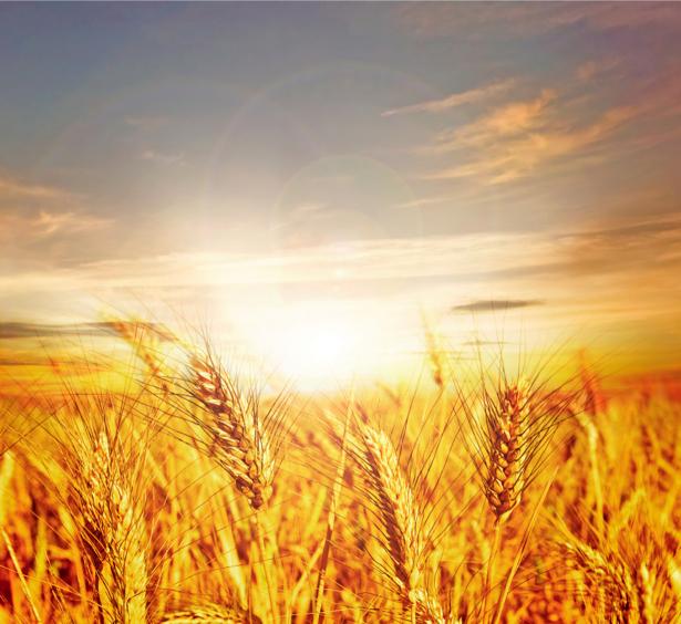 Фотообои на закате пшеничное поле (nature-00294)