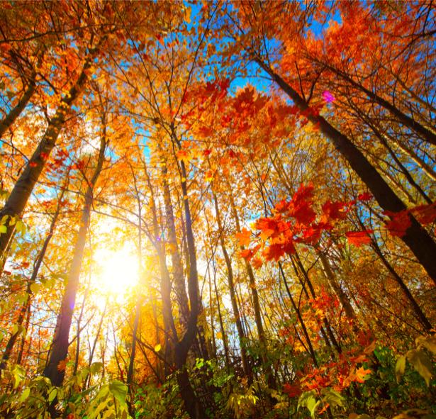 Фотообои осенний лес с красными лмсьями (nature-00520)